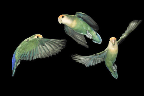 Stanford high-speed video reveals how parrots keep a clear line of sight during acrobatic flight | Amazing Science | Scoop.it