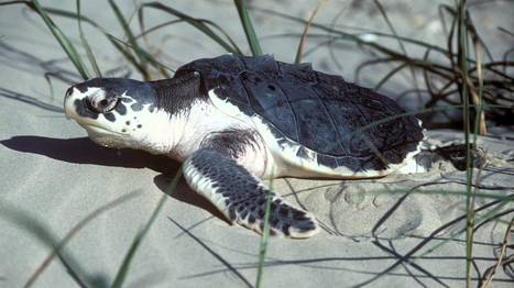Endangered Turtle Survives Trans-Atlantic Journey : NPR   Ocean Conservation   Scoop.it