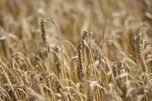 Agriculture : faut-il revenir aux espèces sauvages ? : Le Nouvel Observateur | Chimie verte et agroécologie | Scoop.it