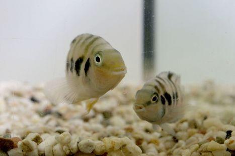 Speed dating de poissons, ou l'art de s'accorder entre partenaires | | Science de comptoir | Veille pour rire ou sourire | Scoop.it