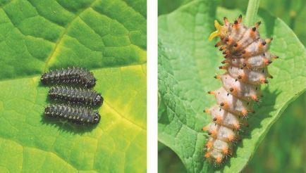 La Proserpine et la Diane, des papillons protégés | EntomoScience | Scoop.it