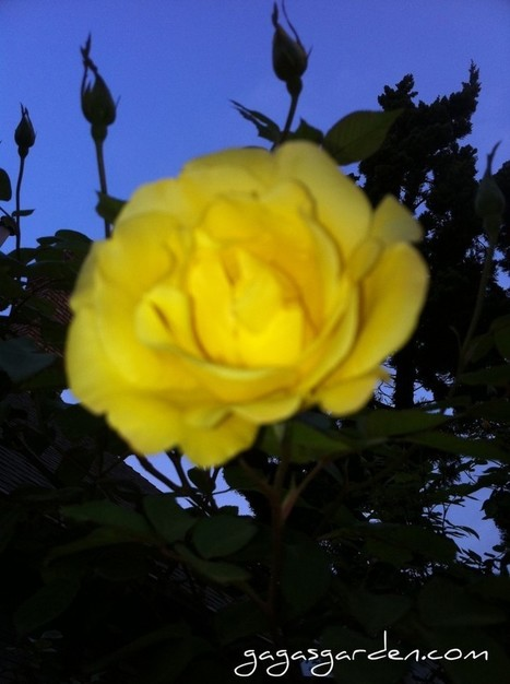 The roses are blooming at Gaga's! | Rose gardening for everyone | Scoop.it