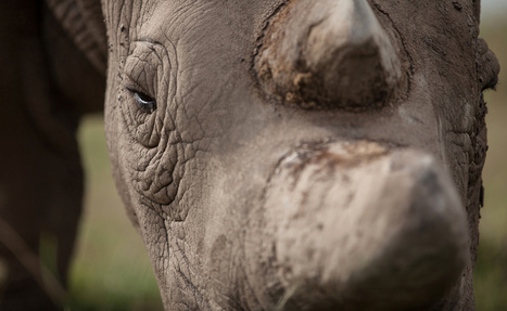 Zimbabwe Plans to Dehorn Its 800 Rhinos to Thwart Poachers | What's Happening to Africa's Rhino? | Scoop.it