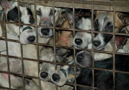 Inside the dog meat trade - Humane Society International | Nature Animals humankind | Scoop.it
