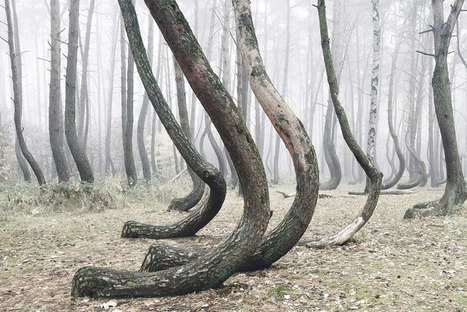 Mysterious Forest Of 400 Crooked Trees In Poland Is Still A Mystery For Scientists | CLOVER ENTERPRISES ''THE ENTERTAINMENT OF CHOICE'' | Scoop.it