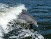 India: Dolphins declared non-human persons | Nature Animals humankind | Scoop.it