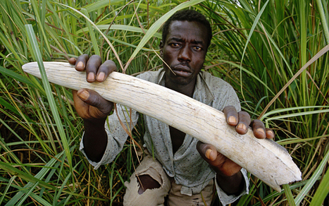 LRA warlord Joseph Kony uses ivory trade to buy arms | Wildlife Trafficking: Who Does it? Allows it? | Scoop.it