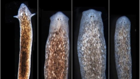 Altering the physiological circuits of flatworms makes them grow the heads of other species | Knowmads, Infocology of the future | Scoop.it