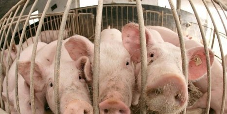 Crise porcine : les ventes reprennent mais le prix reste en dessous de 1,40 €/kg | Agriculture en Dordogne | Scoop.it