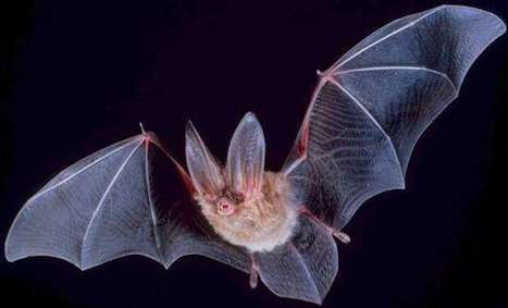 What bats reveal about how humans focus attention | Bat Biology and Ecology | Scoop.it