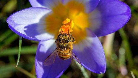 La mort des abeilles augmenterait le taux de mortalité humaine | Biodiversité & Relations Homme - Nature - Environnement : Un Scoop.it du Muséum de Toulouse | Scoop.it