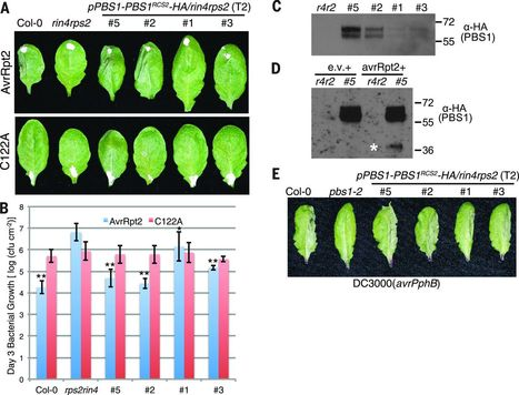 Science: Using decoys to expand the recognition specificity of a plant disease resistance protein | Stories of plants and its enermies | Scoop.it