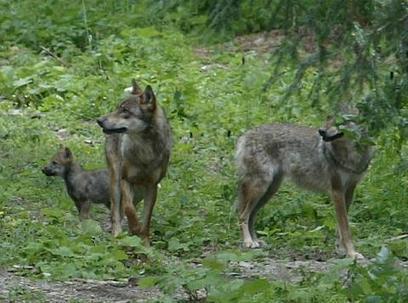 Le préfet autorise le prélèvement du loup pour deux mois | Chasse dans le Nord... et ailleurs | Scoop.it