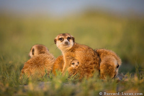 Meerkats' sinister side is secret to their success, study shows | enjoy yourself | Scoop.it