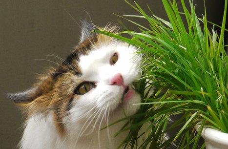 Cómo plantar hierba para gatos y beneficios estupendos asociados | Agua | Scoop.it