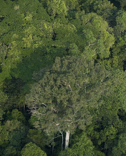 Amazon deforestation due in part to soybean growing | Amazon Deforestation: Issue Study | Scoop.it