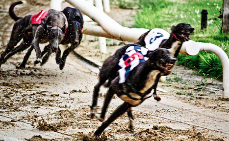 Victory For Greyhounds As Dog Racing Set To End In Texas | Culture, Humour, the Brave, the Foolhardy and the Damned | Scoop.it