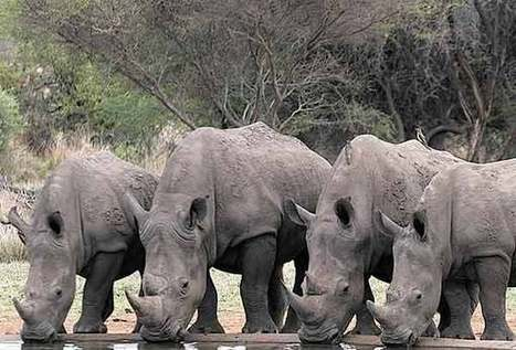 An Epic Move for Rhinos | GarryRogers NatCon News | Scoop.it