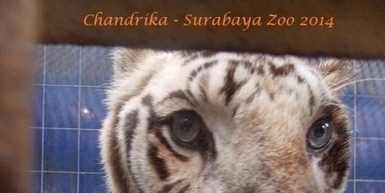 The Mayor of Surabaya -Surabaya Zoo: Allow full Animal Welfare Agency Access for aid to be allowed into the Surabaya Zoo | Animal Cruelty | Scoop.it