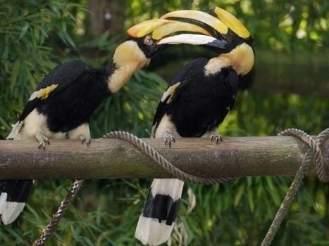Oiseaux à l'«ivoire rouge» massacrés à Bornéo | Chronique d'un pays où il ne se passe rien... ou presque ! | Scoop.it