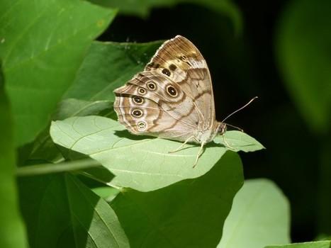 Photo de Papillon du Québec : Satyre perlé - Enodia anthedon - Northern Pearly-eye - Lethe anthedon | Fauna Free Pics - Public Domain - Photos gratuites d'animaux | Scoop.it