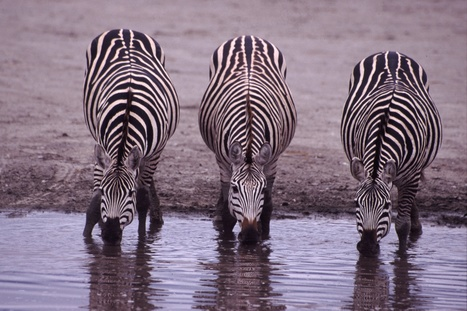 Mystery of zebra stripes revealed | Bilingual News for Students | Scoop.it