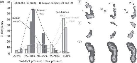 El arco longitudinal del pie en la evolución humana | Biología | Scoop.it