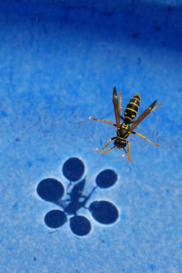 La sombra de la avispa que andaba por el agua y la tensión superficial | DETERGENCY | Scoop.it