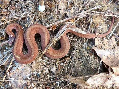 Photos de serpents du Québec : Couleuvre à ventre rouge - Storeria occipitomaculata - Redbelly Snake | Fauna Free Pics - Public Domain - Photos gratuites d'animaux | Scoop.it