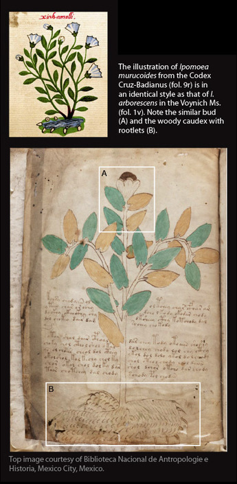 Botanists suggest Voynich illustrations similar to plants in Mexico | Cool tidbits about plants | Scoop.it