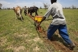 FAO -News Article:Scaling up conservation agriculture in Zambia | Climate Smart Agriculture | Scoop.it
