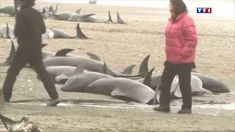 Japon : pêche cruelle pour la moitié des dauphins d'aquarium ! | Chronique d'un pays où il ne se passe rien... ou presque ! | Scoop.it