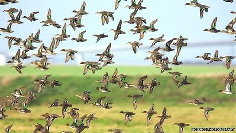 """Wild birds 'may spread flu virus' (""""we can't stop bird migration; but we can stop the flu"""")   Earth Citizens Perspective   Scoop.it"""
