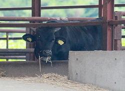 [Eng] Le gouvt de Fukushima cherche à lever l'interdiction sur les expéditions de bovins |  The Mainichi Daily News | Japon : séisme, tsunami & conséquences | Scoop.it