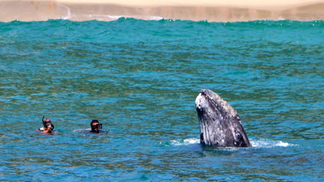 What a Sight! #Close #Encounters with #GrayWhales - NBCNews.com Vid.1.57m | Rescue our Ocean's & it's species from Man's Pollution! | Scoop.it