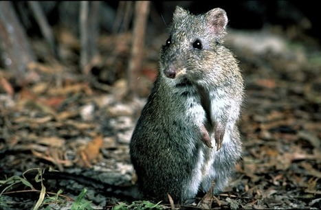 Australian endangered species: Gilbert's Potoroo - The Conversation | Endangered species Australia | Scoop.it