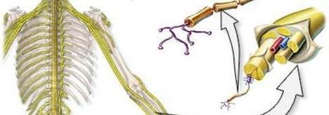 Lo que nadie te explica sobre las Neuropatias | NeuropatiaTratmiento Barcelona | Professional chiropractors | Scoop.it