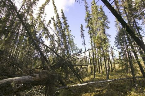 Drunken Trees: Dramatic Signs of Climate Change | Forest health | Scoop.it