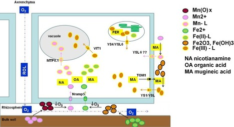 Membrane transporters mediating root signalling and adaptive responses to oxygen deprivation and soil flooding - | Plant Stress | Scoop.it