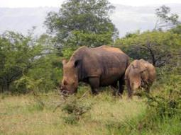 No rhino hunting requests from Asia | What's Happening to Africa's Rhino? | Scoop.it