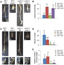 Local and Systemic Regulation of Plant Root System Architecture and Symbiotic Nodulation by a Receptor-Like Kinase | Plant Gene Seeker -PGS | Scoop.it