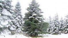 Noël 2013 : le sapin de l'Elysée a été coupé dans le Morvan - France 3   Vive Noël !   Scoop.it