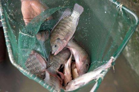 SENEGAL: Struggling Senegal fishermen turn to aquaculture | BUSINESS DEVELOPMENT | Scoop.it
