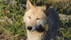 Wolf Facts | wolf | Scoop.it
