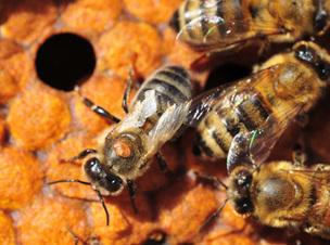 Varroa destructor: le parasite capable de mimer chimiquement deux espèces d'abeilles | Chronique d'un pays où il ne se passe rien... ou presque ! | Scoop.it