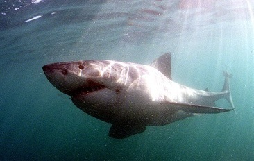 Great white shark travels down towards Texas with thousands of fans watching | TheCelebrityCafe.com | Shark conservation | Scoop.it