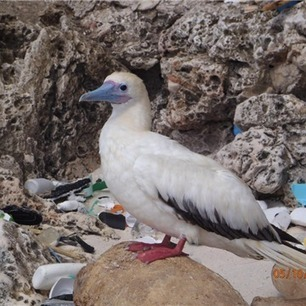 #Ocean #Plastic Could Be Found in 99 Percent of Seabirds by 2050 #pollution | Messenger for mother Earth | Scoop.it