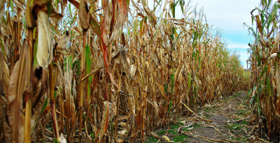 Corn maze: There is no 'simple fix' for commodity farming   The Agrobiodiversity Grapevine   Scoop.it