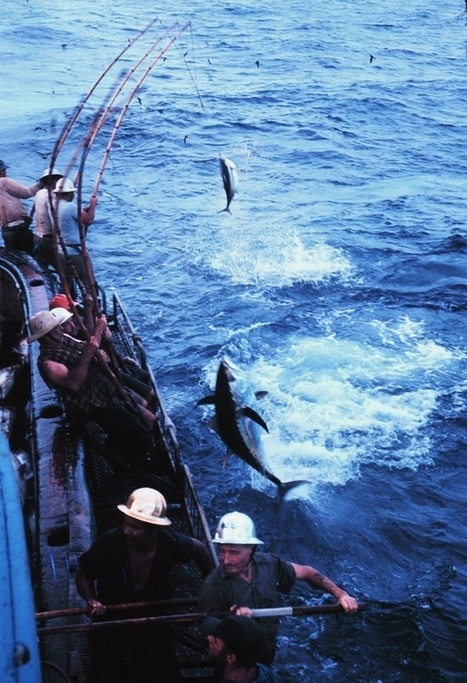 The Plight of Bluefin Tuna in the Atlantic and Pacific Oceans | Project Fellowship | Scoop.it