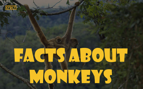 Facts about Monkeys - Do You Know?   EFACT   Scoop.it